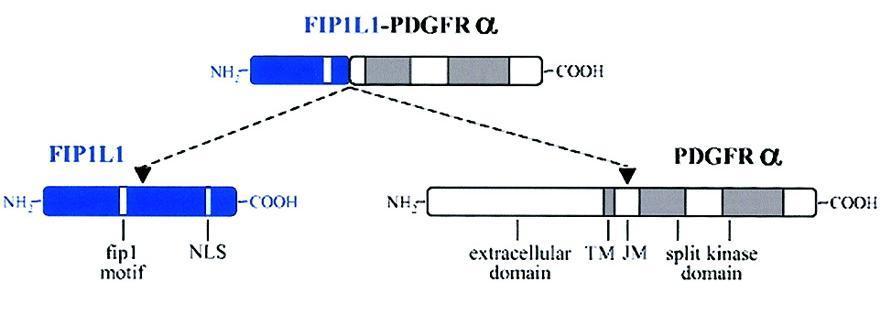 Fip1l1
