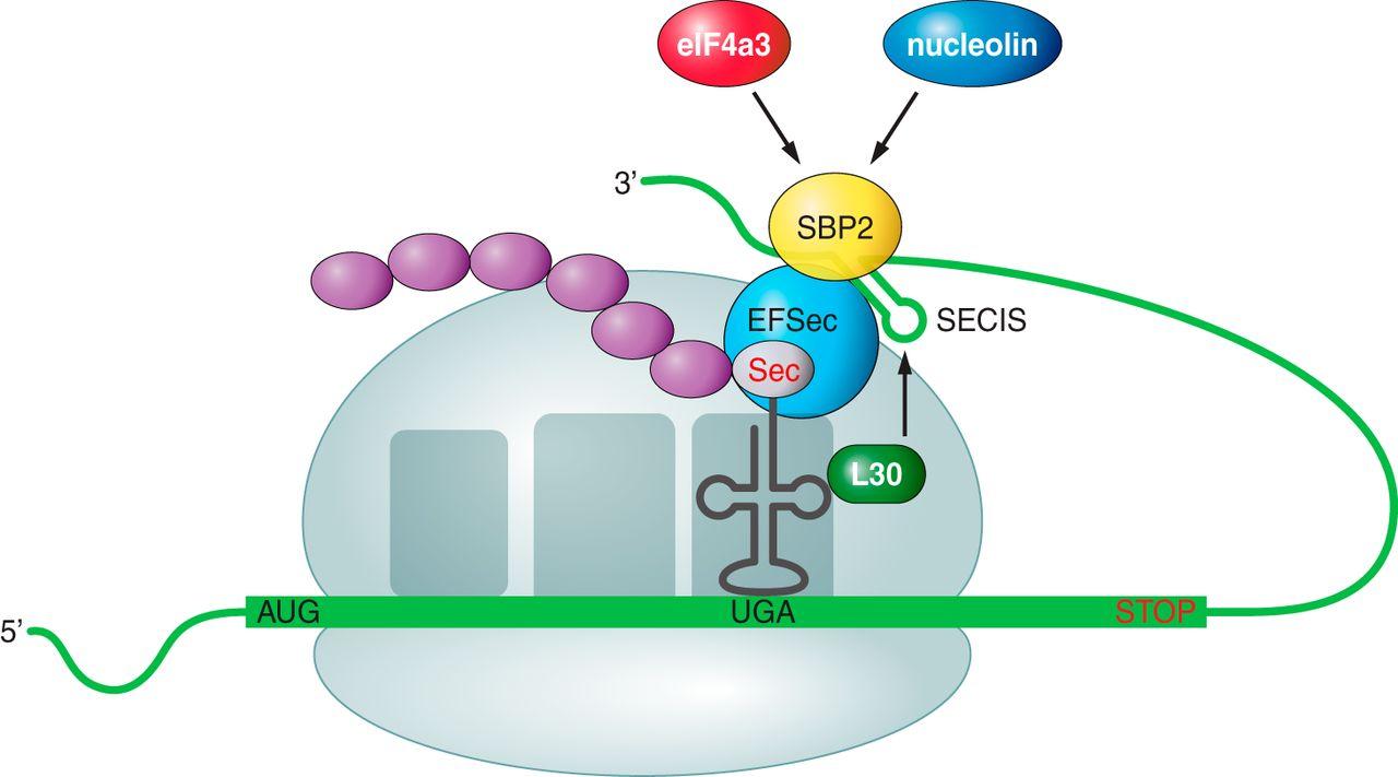 Selenoproteïnes de Macaca nemestrina