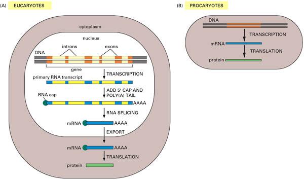prokaryotic and eukaryotic cell worksheet